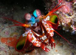 this mantis shrimp actually atackted the camera by Noby Dehm