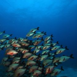 Humpback snapper school by Clive Ferreira
