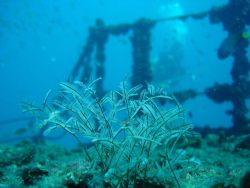 Plant life on the Ex-Hmas Brisbane wreck at the Sunshine ... by Tim Anderson