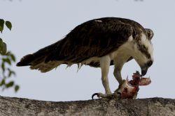 Osprey by Jack Nevitt