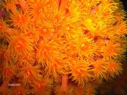 tube-corals at night. Unawatuna by Kaj Toivola