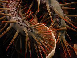 Crown of thorns eating folios coral by Christine Huffard