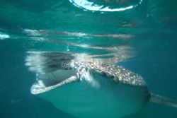 canon 20d 10/22mm whale shark in free swimming by Eric Poulin