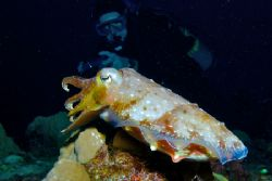 Cuttlefish at Truk Lagoon. Nikon D70S with 17-35mm f2.8 N... by Norman Hutchison