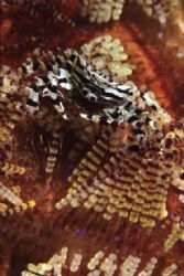 Zebra Crab - Another species that lives with the fire urc... by Richard Smith
