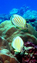 two Ornate Butterfly fish, freediving in LauLau Bay at -3... by Scott Mcclarin