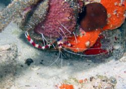 Banded Coral Shrimp photo taken @ 60' during a night dive... by Gordon Skiba