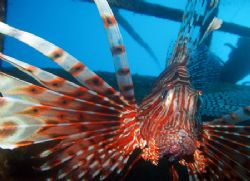 Lionfish guards a wreck northside of Hideaway Bay, Simila... by Antti Asu