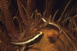 Pair of Crinoid Clingfish. No Crinoids were manipulated i... by Richard Smith