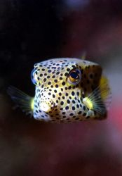 Box fish.