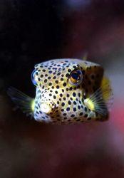 Box fish. Nikon D100, Nikkor 105mm, Anthis Nexus D100, I... by Steve Kuo