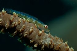 Whip coral goby, Solomon Islands by Andy Lerner