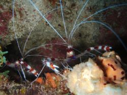 Red bander shrimp, The wall Parguera. by Osvaldo Deleon
