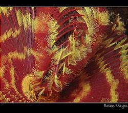 Close up of colourful Feather Duster by Brian Mayes