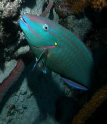 pic of parrot fish taken in may of 2006. Bari reef in Bon... by Barry Kirchner