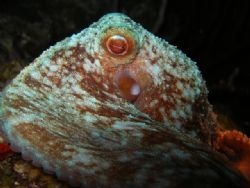Reef Octopus, Olympus SP 350 by Osvaldo Deleon