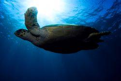 Free swiming turtle by Javier Sandoval