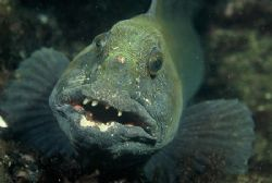 St. Abbs Scotland, Big Wolf Fish smiling into camera. N... by Mike Clark