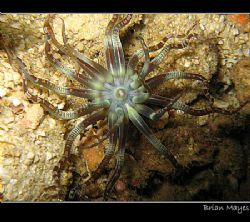 Interesting Anemone found at Fahal Island, Muscat, Oman. ... by Brian Mayes