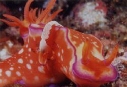 Joy Ride! Periclimenes imperator (shrimp) enjoying it rid... by Tony Otion