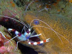 banded cleaner shrimp doing his job in the mouth of a gia... by Patrick Neumann