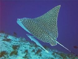Spotted Eagleray, Cozumel dive site called Palancar Caves... by Garry Rogers