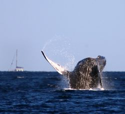 """Backflop"". Photo of Humpback Whale taken in Maui, HI. Ch... by Mathew Cook"