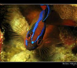 Portrait of small Arabian Bluestriped Dottyback (Pseudoch... by Brian Mayes