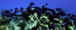 exodus...blue tangs on a seeming exodus away from Bari re... by Barry Kirchner