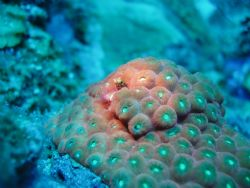 secretary blennies in a star coral, in the dive site of s... by Victor J. Lasanta Garcia