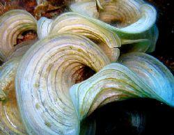 Padina algae by Christine Huffard