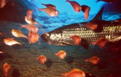 Tarpon In Cave, Resting Before The Hunt, Cozumel, Reefmas... by John C Jeppson