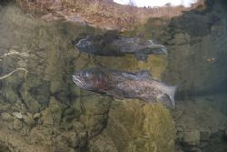 Life nearly over for one of the trout in Capernwray. D200... by Derek Haslam