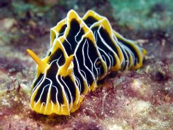 Nudi Great Barrier Reef- Aust by Joshua Miles