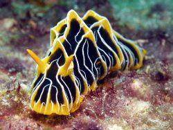 Nudi Great Barrier Reef- Aust by Joshua Miles