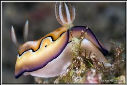 Up skirt view of a co's chromodoris; thank to those two t... by Yves Antoniazzo