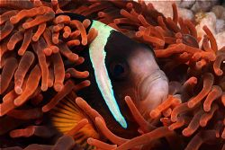 Clown fish Red Anemone Sodwana Canon 350D by Clive Ferreira