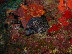 spotted eel in the wall of la parguera at black wall dive... by Victor J. Lasanta Garcia