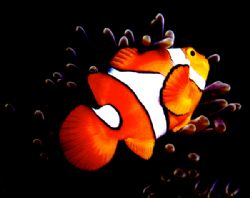 Clown Anemonefish - the real NEMO. Tufi, Milne Bay Provin... by Rick Tegeler