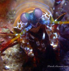 Manti Shrimp@Richilieu Rock Similan Islands 2007. Taken w... by Patrick Neumann