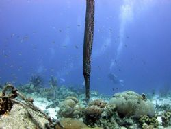 trumpet fish hiding with the bubbles on Bari reef ,Bonaire by Barry Kirchner
