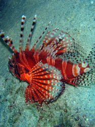 Lionfish in Puerto Galera. Olympus SW 725 (7.1M)+ UW case. by Amaury Albert