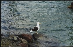 Lonely Gull taken at Tutukaka New Zealand by Astrid Hagerty