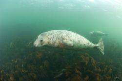 A pair of Grey Seals. Farne Islands, England. Nikon d70 ... by Mike Clark