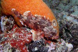 Largescaled scorpionfish - Nikon coolpix 5000 by Nicola Cadel