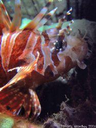 Baby Lionfish@Similan Islands 2007. Taken with Fuji E900+... by Patrick Neumann