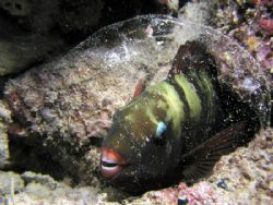 Let me sleep! I saw this parrotfish sleeping in it's slee... by Tony Otion