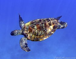 This turtle is always at the same place Similan Nr.8 bay ... by Patrick Neumann