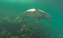 Grey Seal dancing in the sunlight. Farne isles England ... by Mike Clark