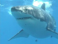 Big Boy, Isla Guadalupe Mexico. Canon Video Camera by Randy Saffell